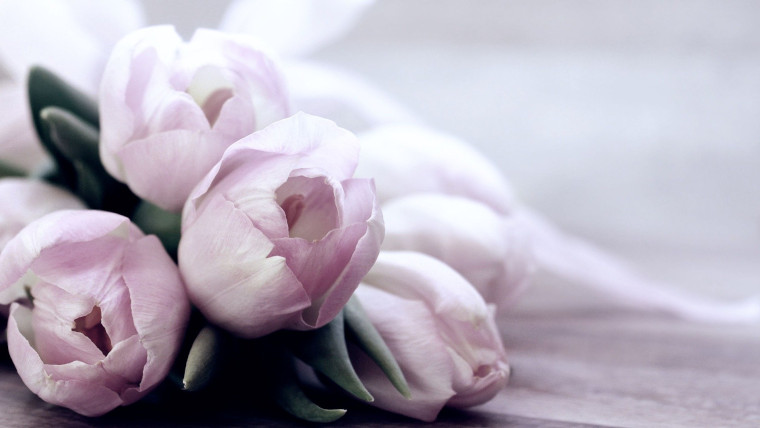 淡いピンクのチューリップ