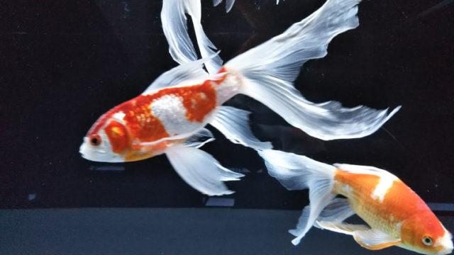 すみだ水族館の金魚